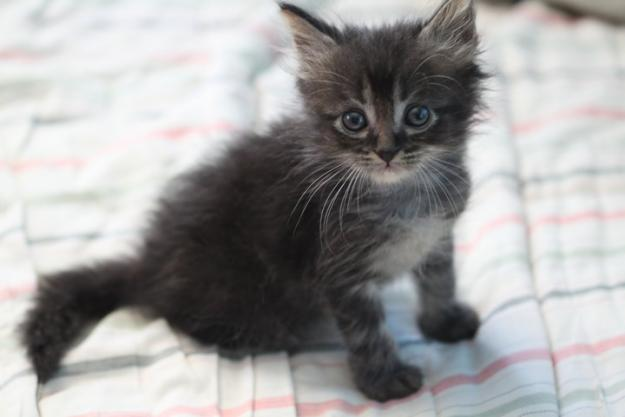 California Spangled Kitten: California Dearly Missed But Never Forgotten Breed