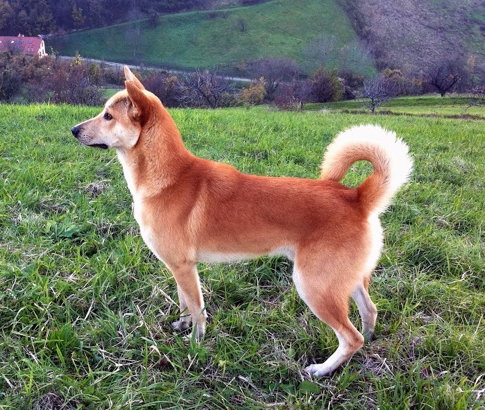 Canaan Dog: Canaan About Breed