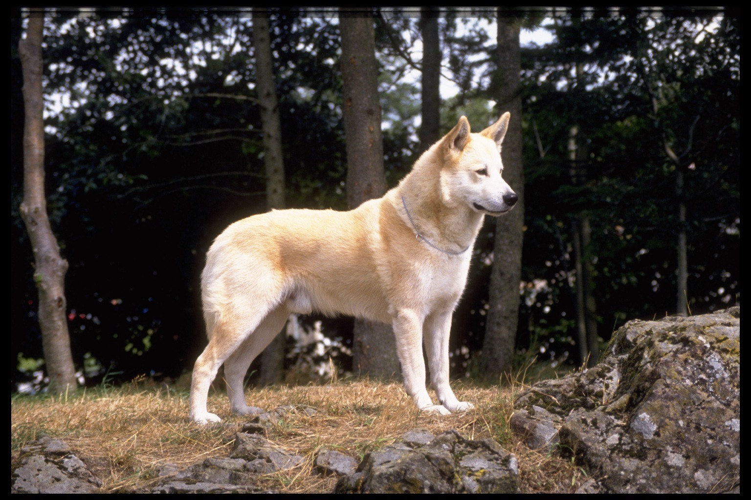 Canaan Dog: Canaan Breed Profile Canaan Dog