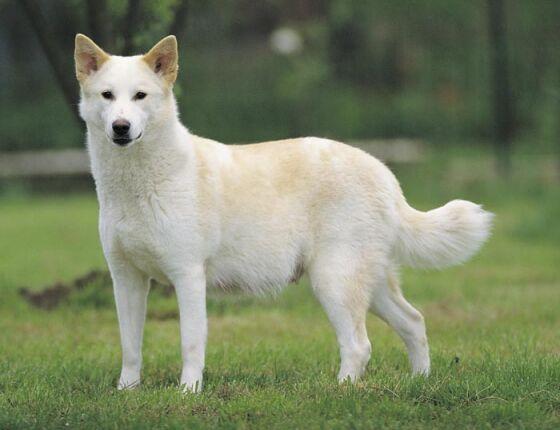 Canaan Dog: Canaan Breed