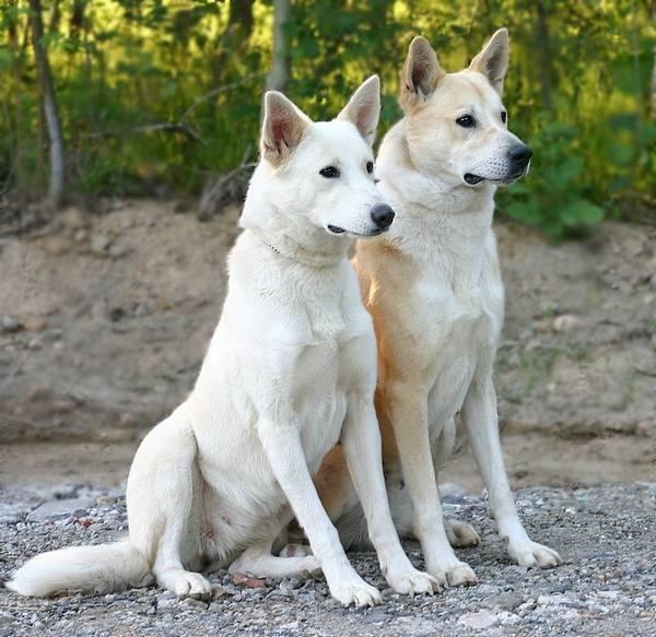 Canaan Puppies: Canaan Canaan Dog Breed