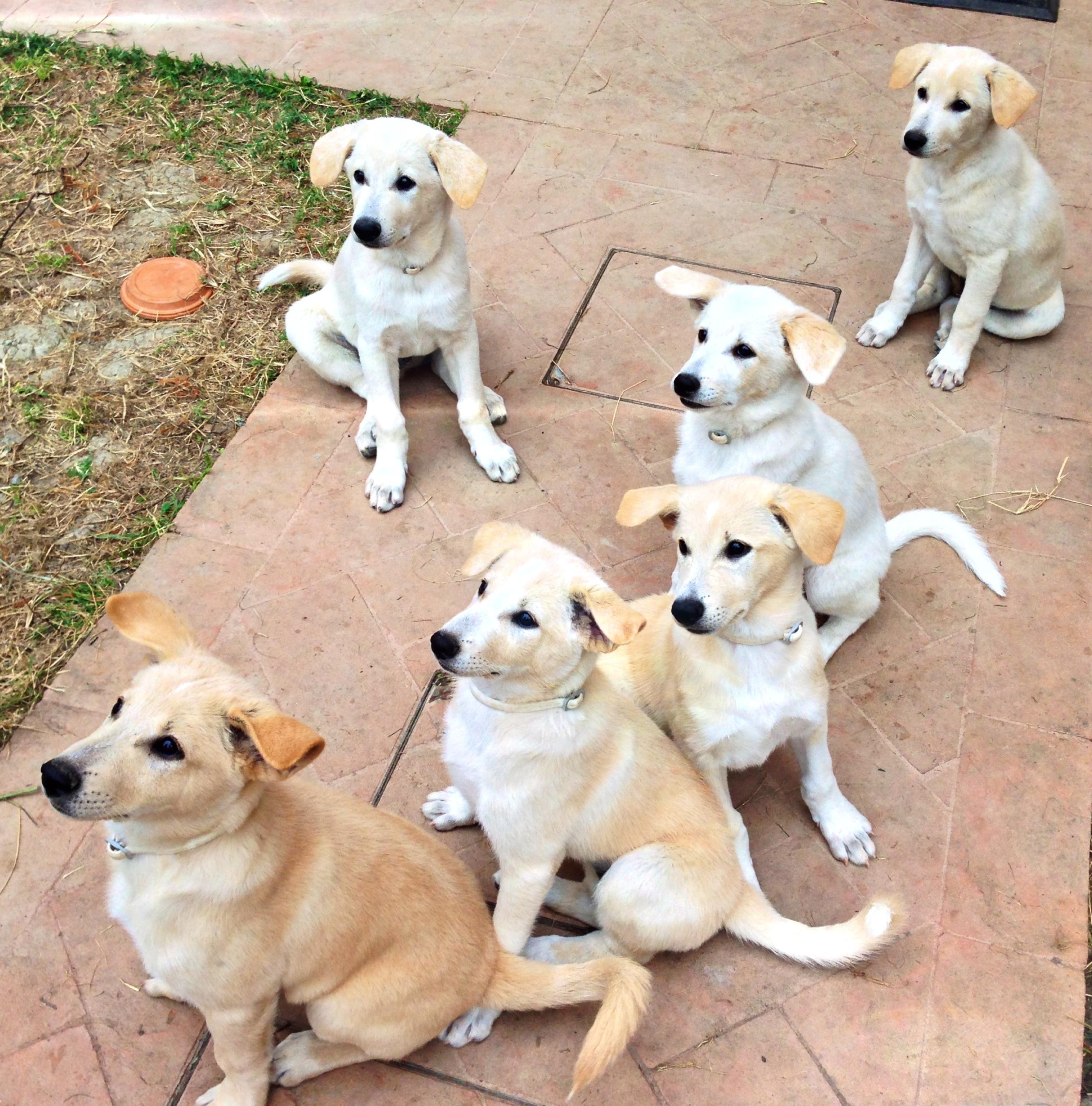 Canaan Puppies: Canaan Canaan Dog Puppies Breed