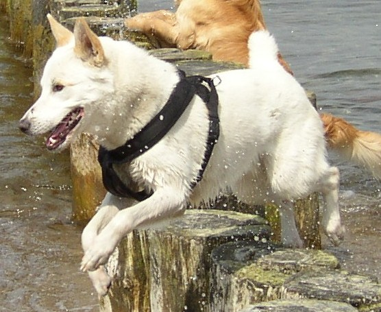 Canaan Dog: Canaan Canaan Dog Reviews And Pictures Breed