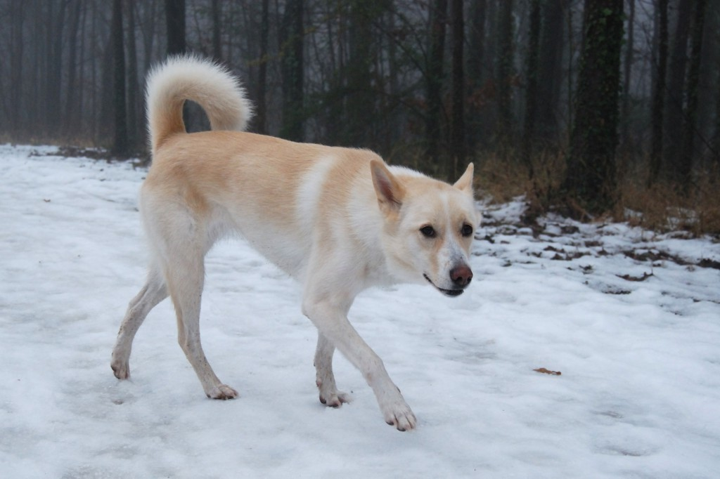 Canaan Dog: Canaan Canaan Dog Top Breed