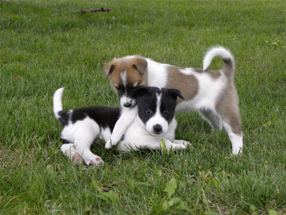 Canaan Puppies: Canaan Canaan Puppies Playing Breed