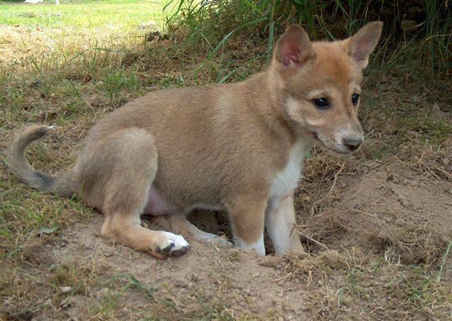 Canaan Puppies: Canaan Default Breed