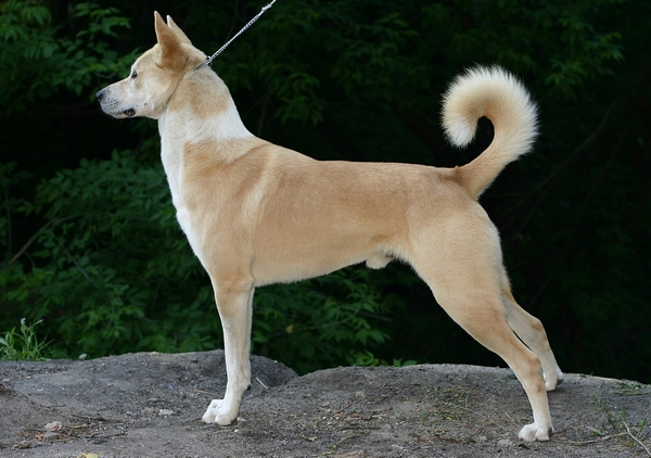 Canaan Dog: Canaan Dogs Breed