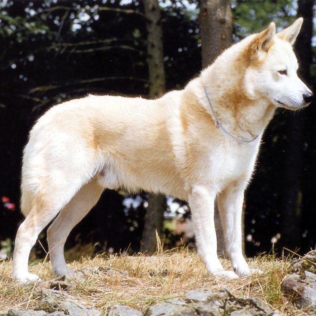 Canaan Dog: Canaan El Canaan Dog Breed
