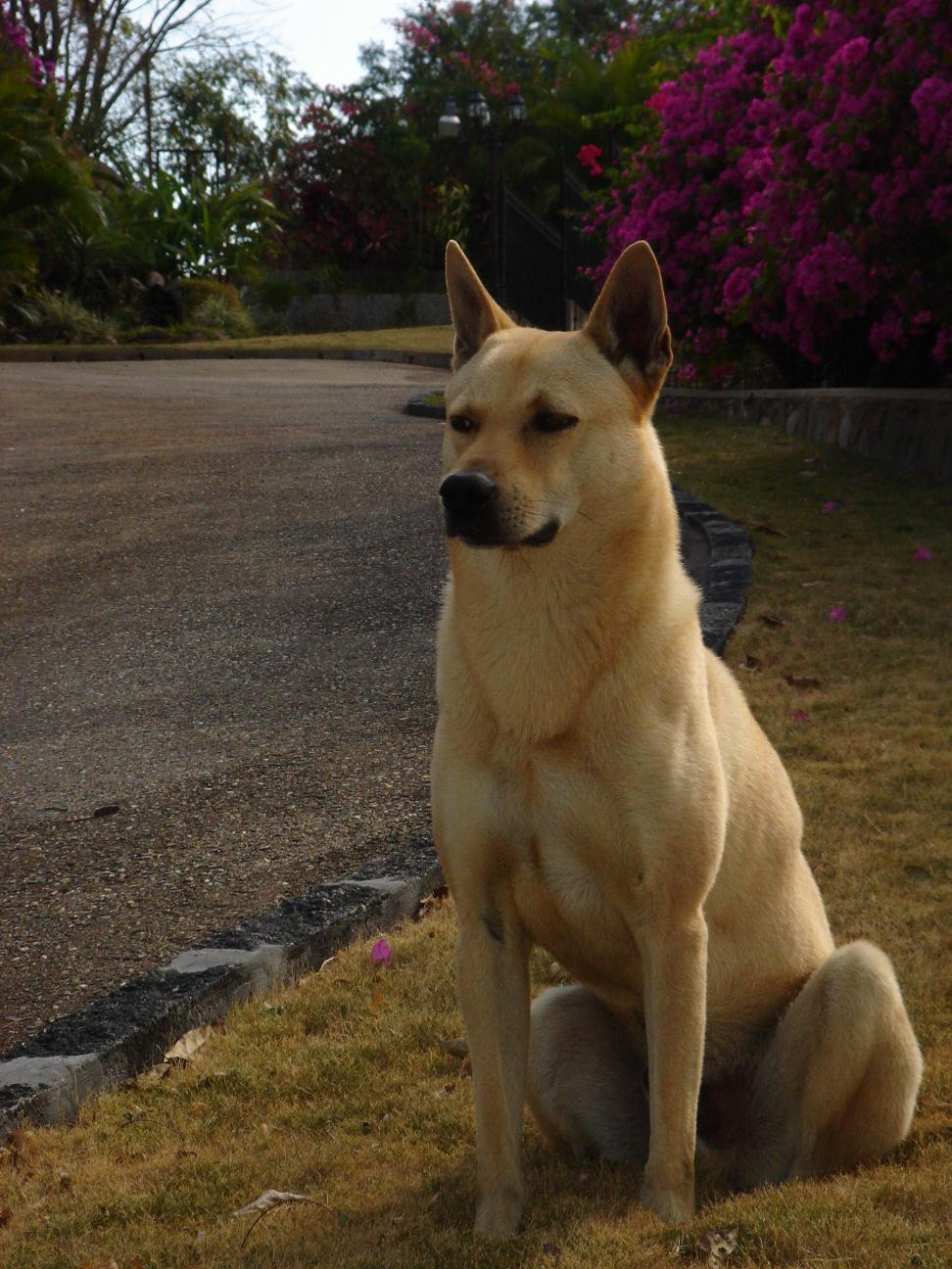 Canaan Dog: Canaan Filecanaandog Breed