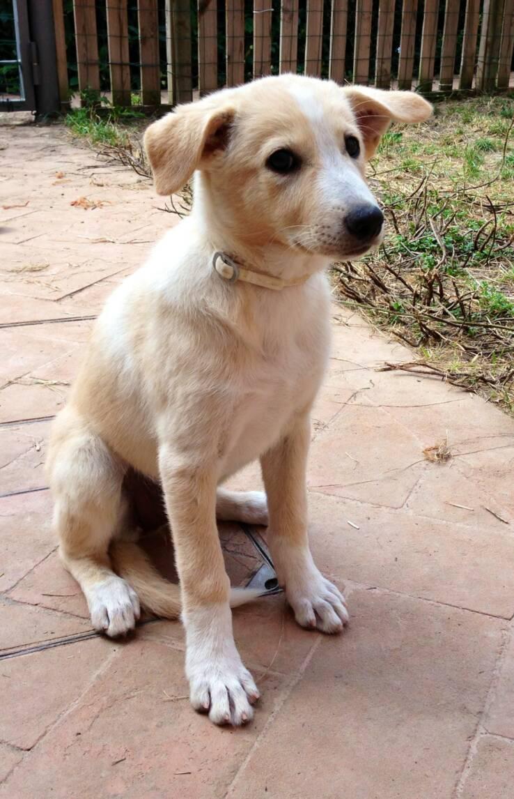 Canaan Puppies: Canaan Media Breed