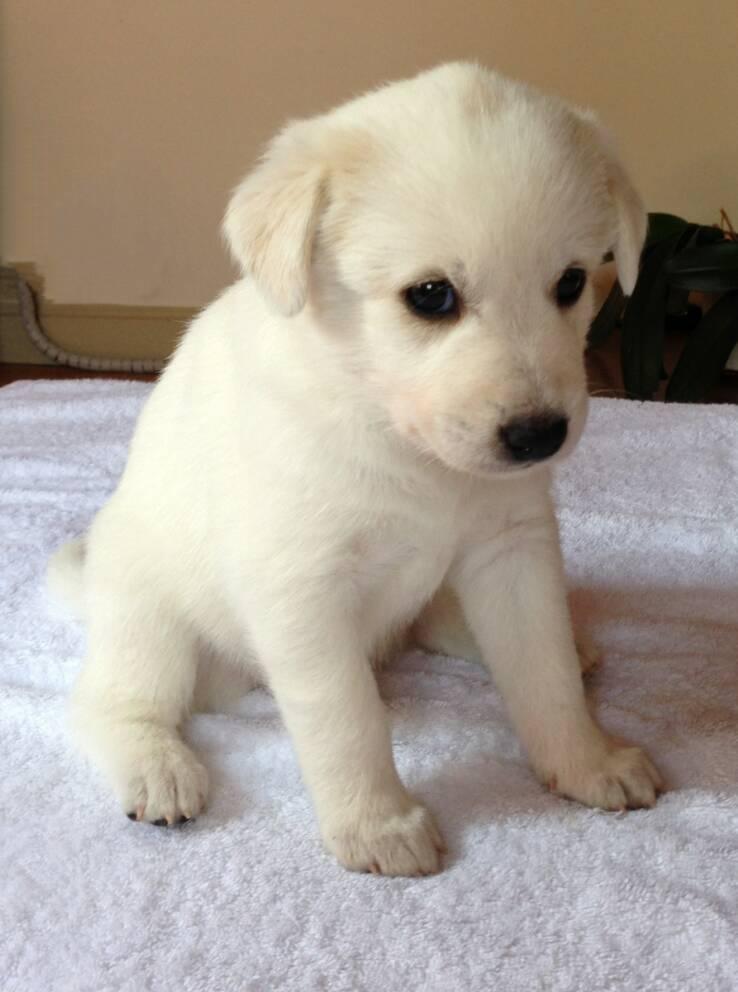 Canaan Puppies: Canaan Wopuppies Breed