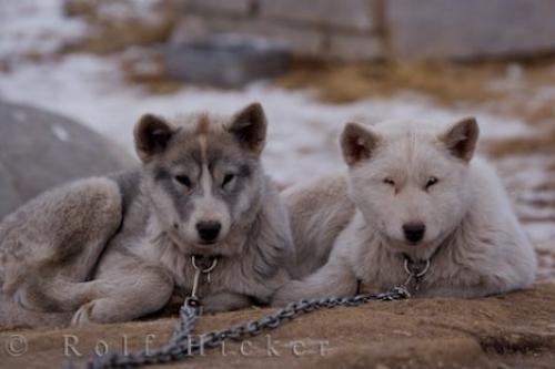 Canadian Eskimo Puppies: Canadian Arctic Dog Breeds Canadian Eskimo Dog Puppies