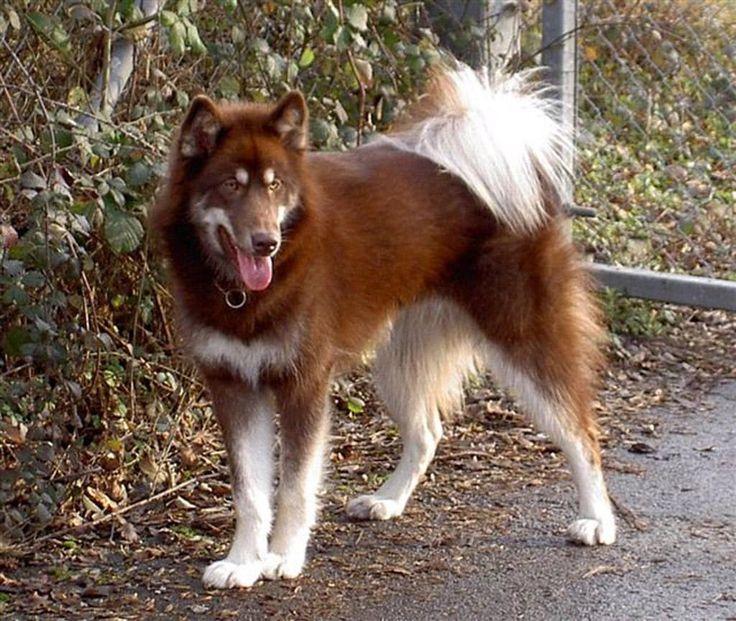 Canadian Eskimo Dog: Canadian Breed