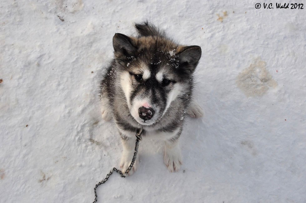 Canadian Eskimo Dog: Canadian Canadian Eskimo Dog Puppies Breed