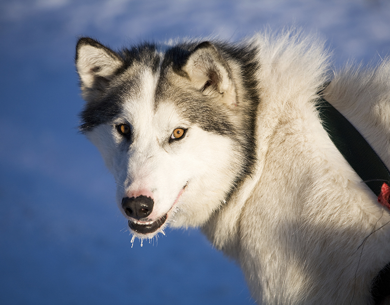 Canadian Eskimo Dog: Canadian Canadian Eskimo Dogs Require Large Or Extra Large Plexidor Pet Doors Breed
