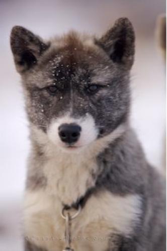 Canadian Eskimo Puppies: Canadian Cute Canadian Eskimo Dog Breed