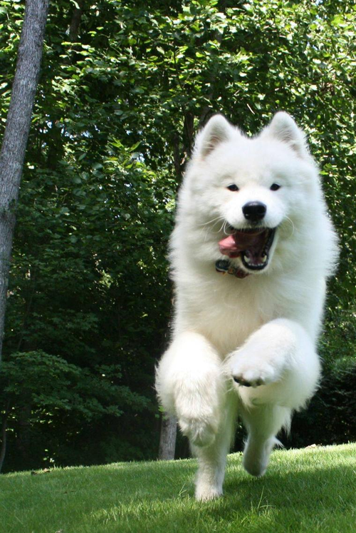 Canadian Eskimo Puppies: Canadian Eskimodog Breed