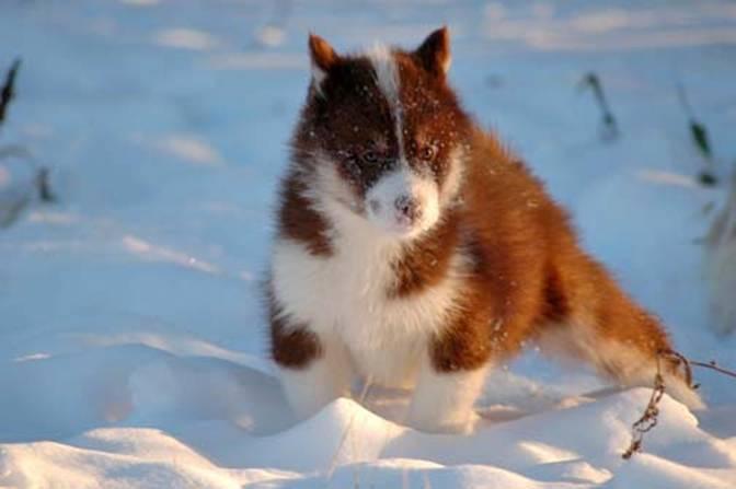 Canadian Eskimo Dog: Canadian Puppies Breed