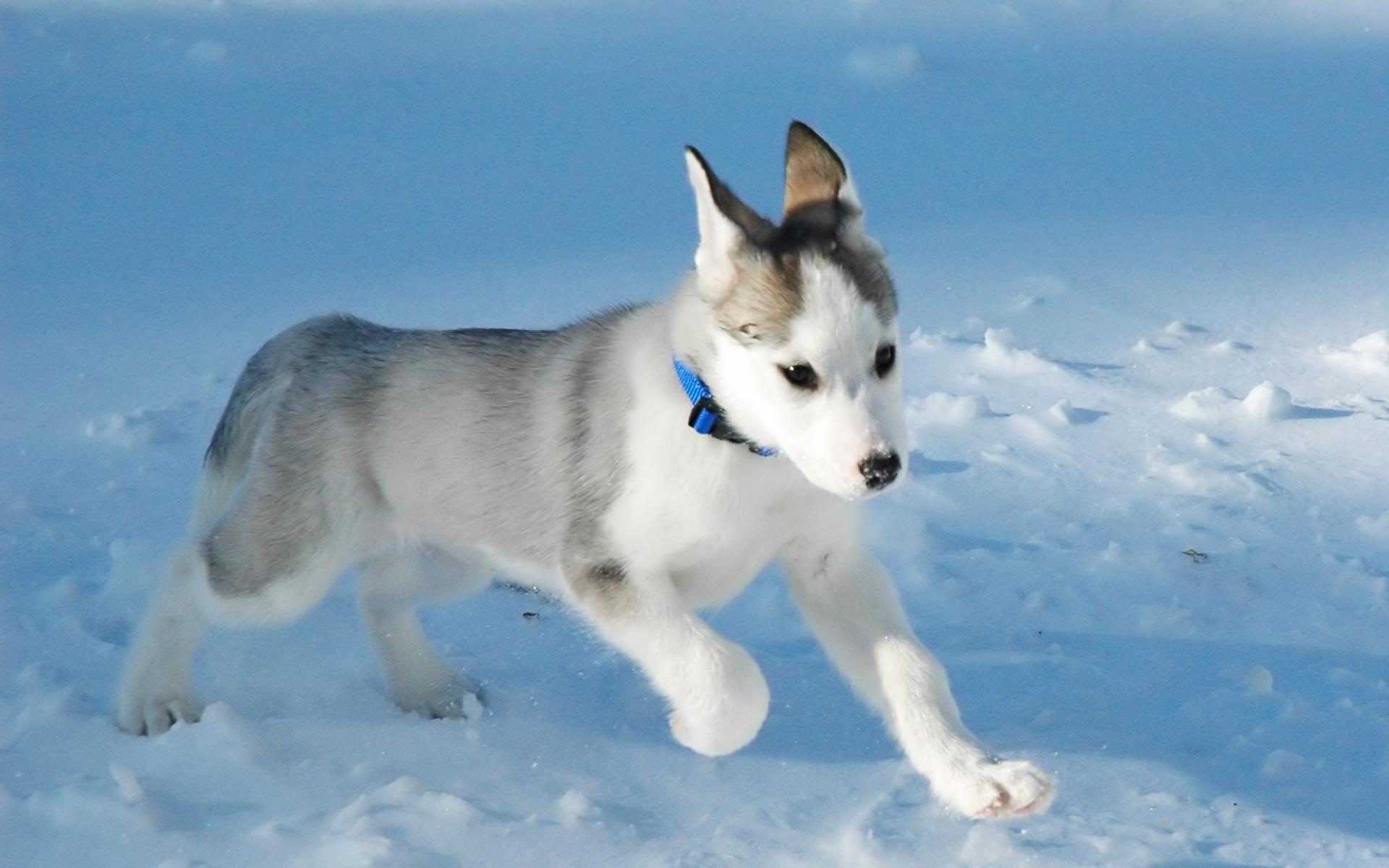 Canadian Eskimo Dog: Canadian Rinning Canadian Eskimo Dog Breed