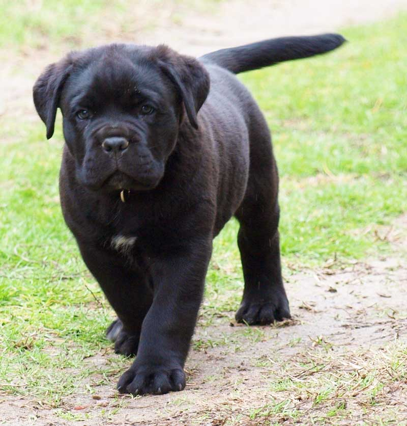 Cane Corso Puppies: Cane Cane Corso Puppies Pictures Review Breed