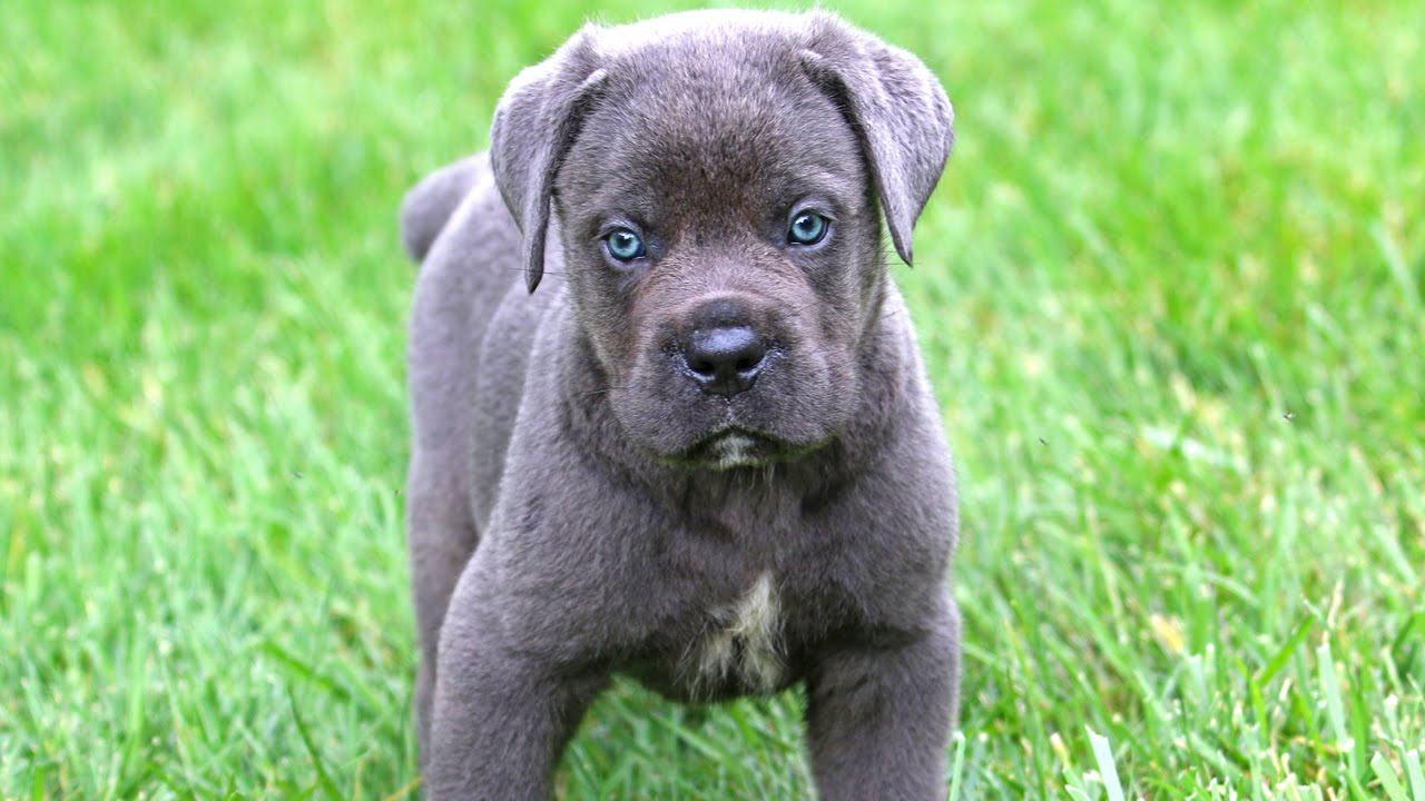 Cane Corso Puppies: Cane Watch Breed