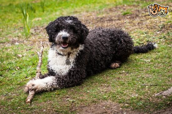 Cantabrian Water Dog: Cantabrian Cantabrian Water Dog Breed