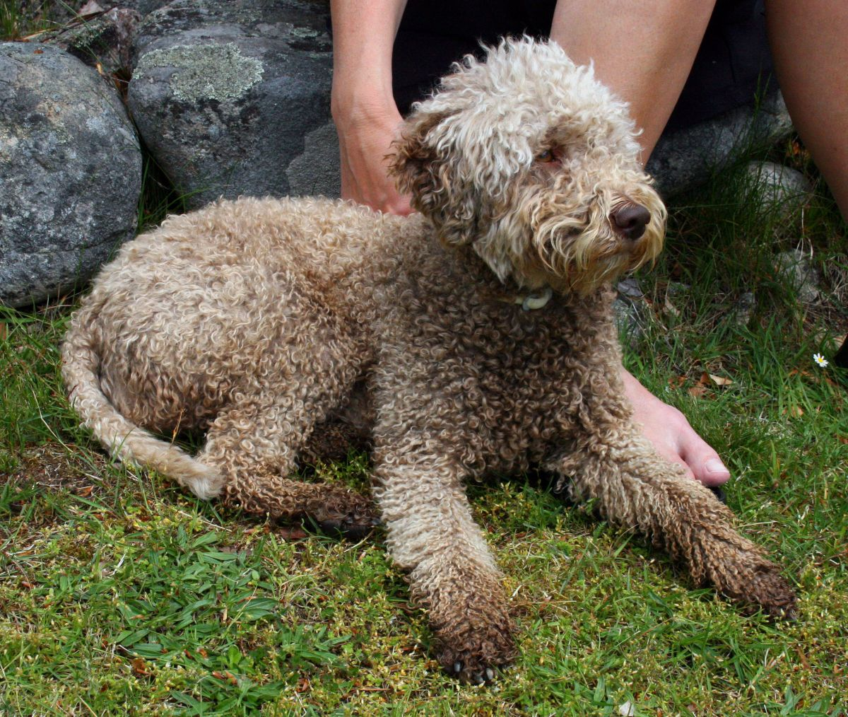 Cantabrian Water Puppies: Cantabrian Lagotto Romagnolo Breed