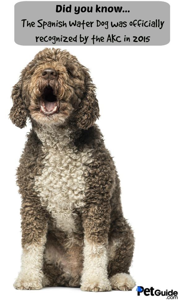 Cantabrian Water Dog: Cantabrian Spanish Water Dog Breed