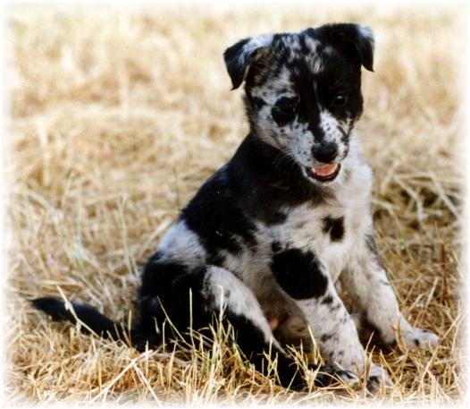 Cantabrian Water Puppies: Cantabrian Spanish Water Dog Jpg Breed