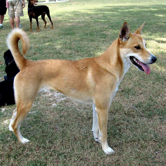 Carolina Dog: Carolina Carolina Dog Breed