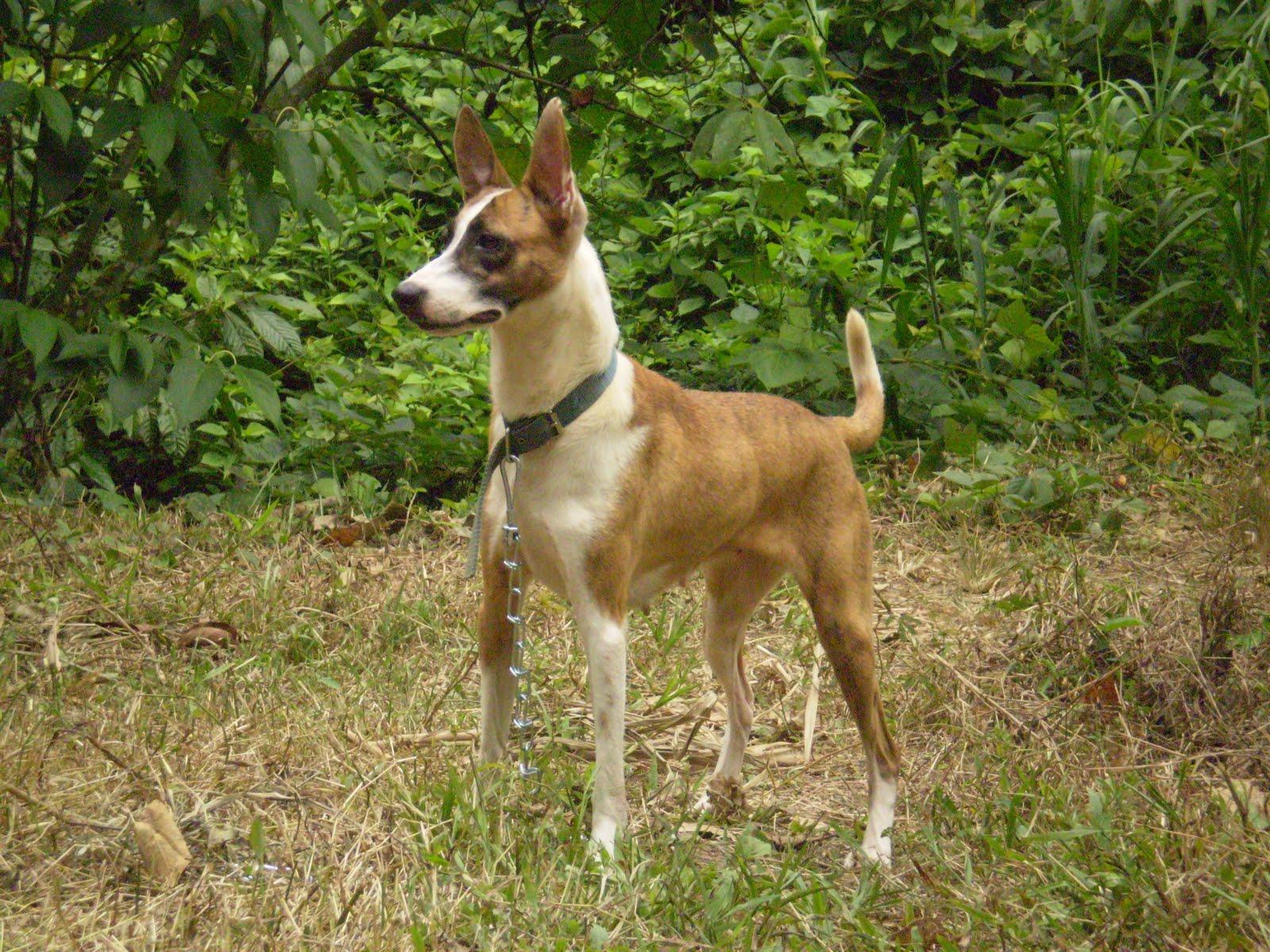 Carolina Dog: Carolina Carolina Dog On Walk Breed