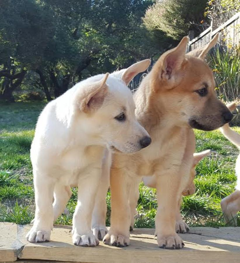 Carolina Puppies: Carolina Carolina Dog Puppies Beauty By Nature Breed