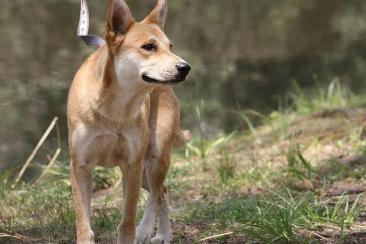 Carolina Dog: Carolina Carolina Dogs Breed