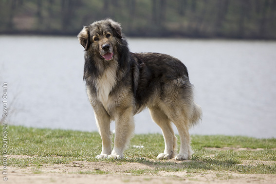 Carpathian Shepherd Dog: Carpathian Breed