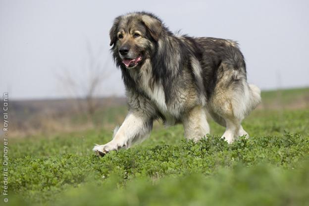 Carpathian Shepherd Dog: Carpathian Carpathian Shepherd Dog Breed