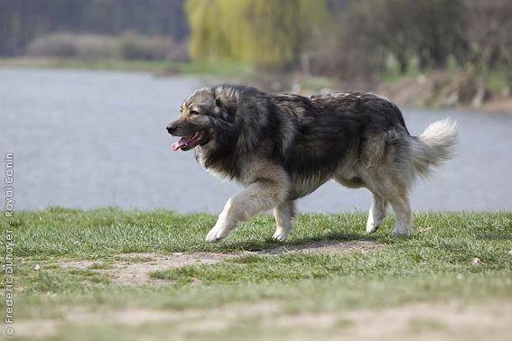 Carpathian Shepherd Dog: Carpathian Carpathian Shepherd Dog Ciobnesc Romcanesc Carpatin Breed