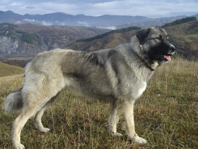 Carpathian Shepherd Puppies: Carpathian Carpathian Shepherd Dog Mountains Breed