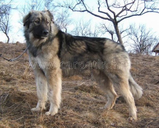 Carpathian Shepherd Puppies: Carpathian Carpathiansheepdog Breed