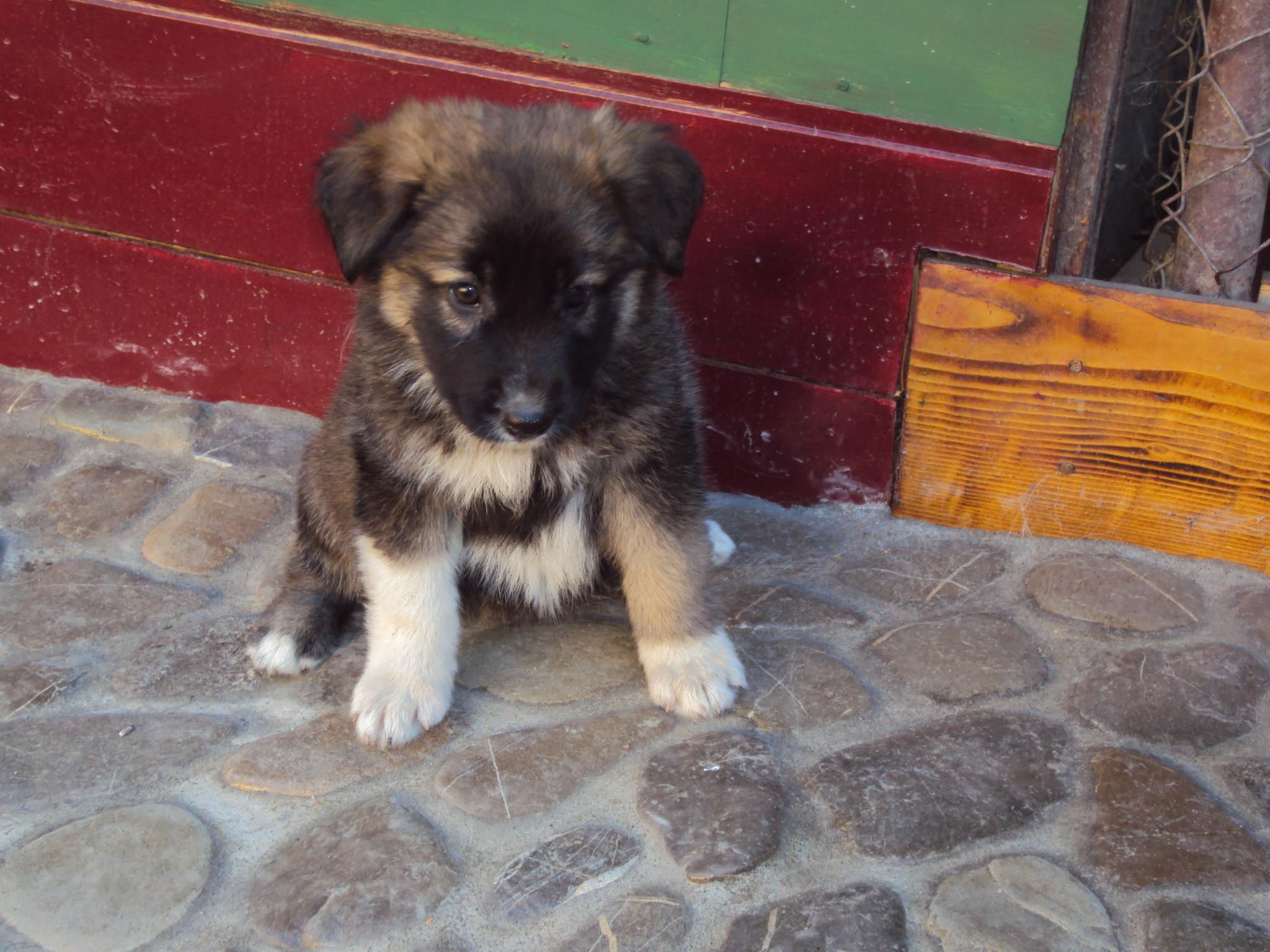 Carpathian Shepherd Dog: Carpathian Lovely Carpathian Shepherd Puppy Breed