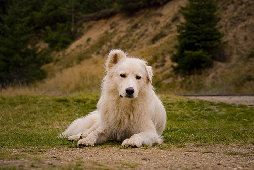 Carpathian Shepherd Puppies: Carpathian Orzgvzawducrhdhrvbymawxlcybjkchjlcmuytlziwmtevmtavynvdgvyzmw Breed