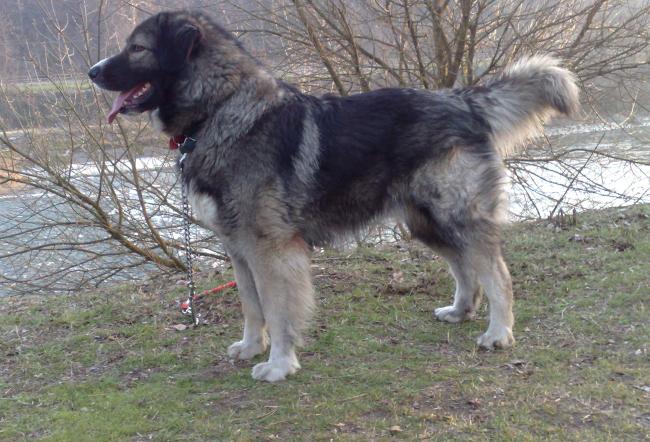 Carpathian Shepherd Dog: Carpathian Romanian Carpathian Shepherd Dog Breed