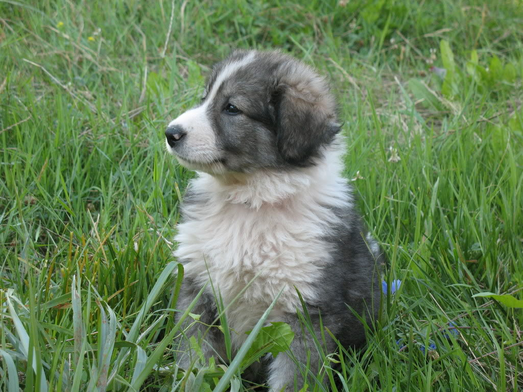 Carpathian Shepherd Puppies: Carpathian Yfycgfaglhbibzagvlcgrvzw Breed
