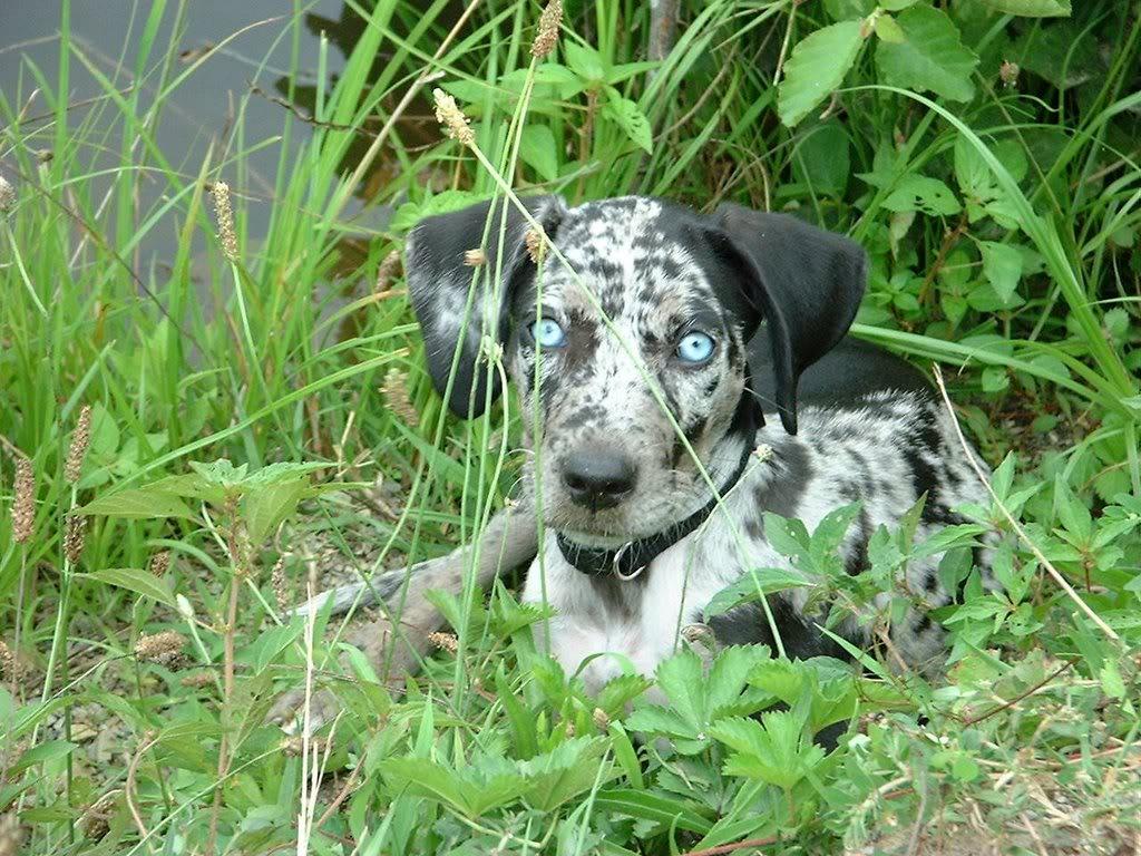 Catahoula Cur Dog: Catahoula Catahoula Breed