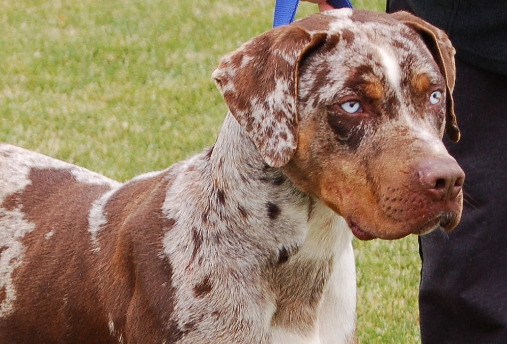 Catahoula Cur Puppies Puppy Dog Gallery