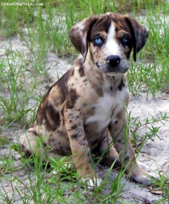 Catahoula Cur Dog: Catahoula Catahoula Leopard Breed