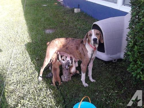 Catahoula Cur Puppies: Catahoula Catahoula Leopard Cur Puppies For Adoption Weeks Old Breed