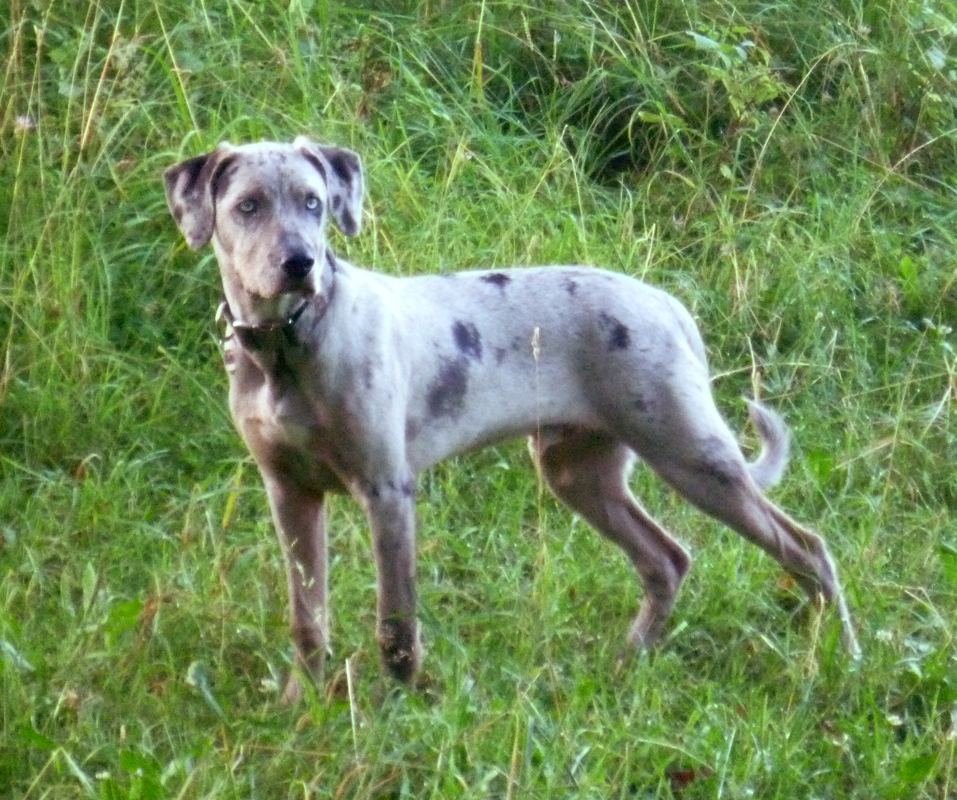 Catahoula Cur Puppies - Puppy Dog Gallery