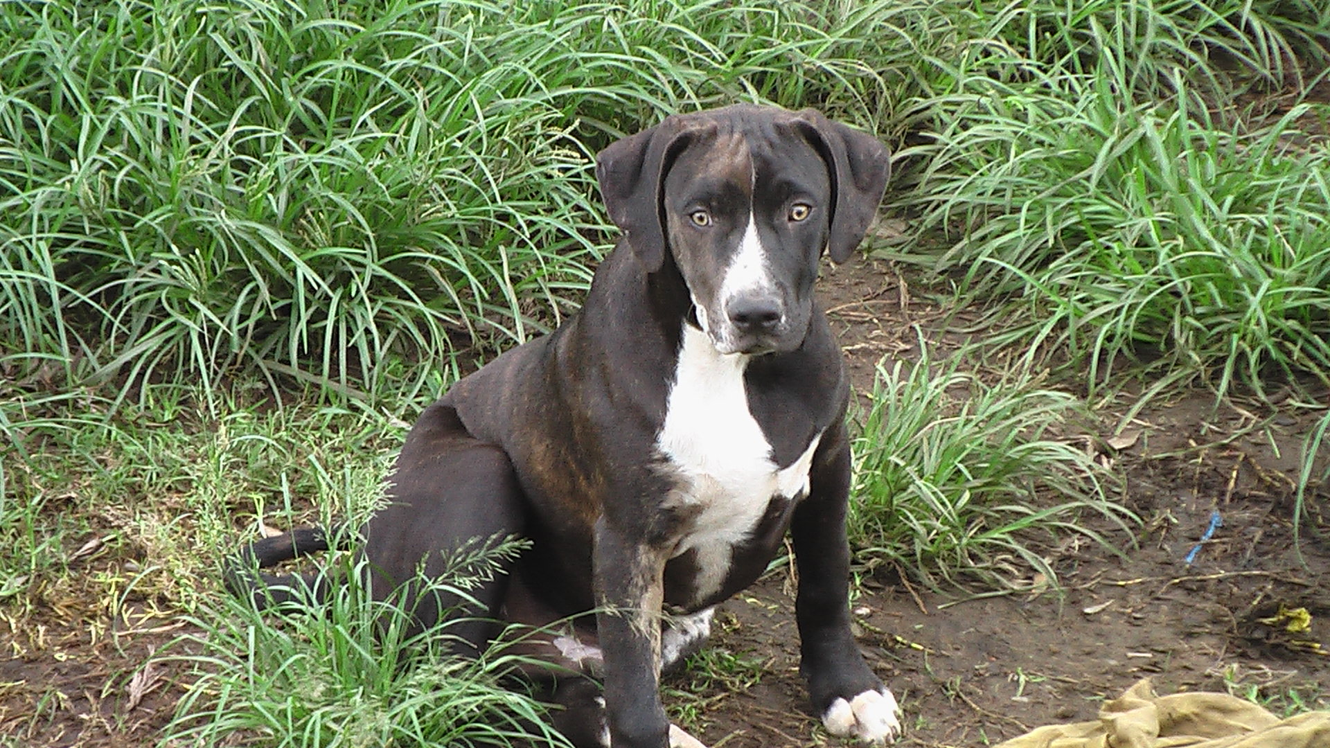 Catahoula Cur Puppies: Catahoula Catahoulacurdogs Breed