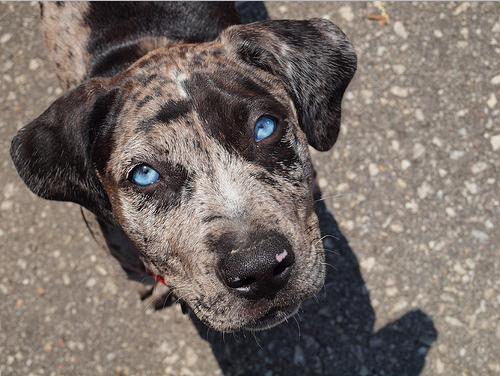 Catahoula Cur Dog: Catahoula Catahoulaleoparddog Breed