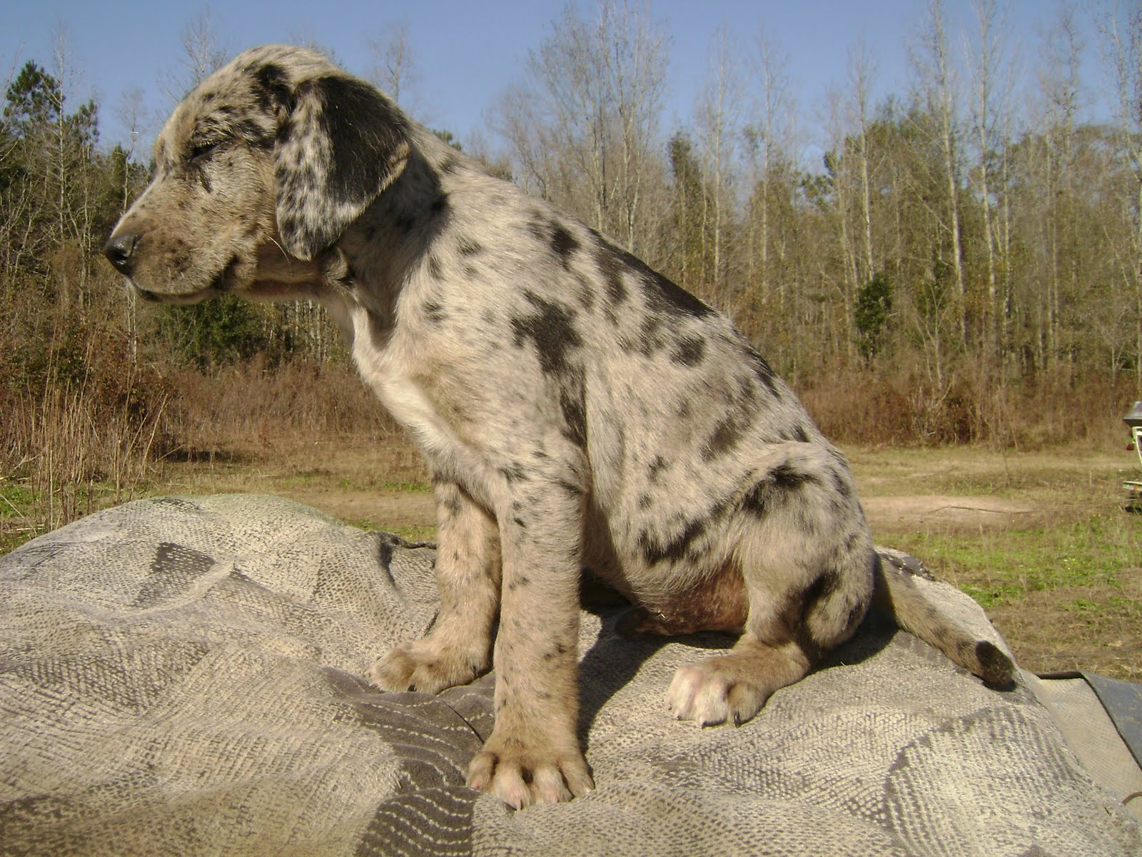 Catahoula Cur Dog: Catahoula Datahoula Dur Dog Picnic Breed